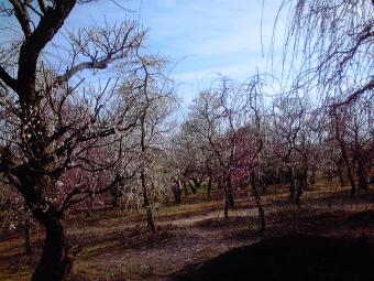 梅の木だらけ
