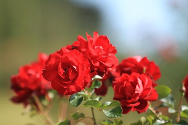 伊豆で磯の匂いとバラの香りを楽しむ