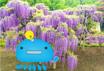 あしかがフラワーパークで咲き乱れる藤の花を鑑賞