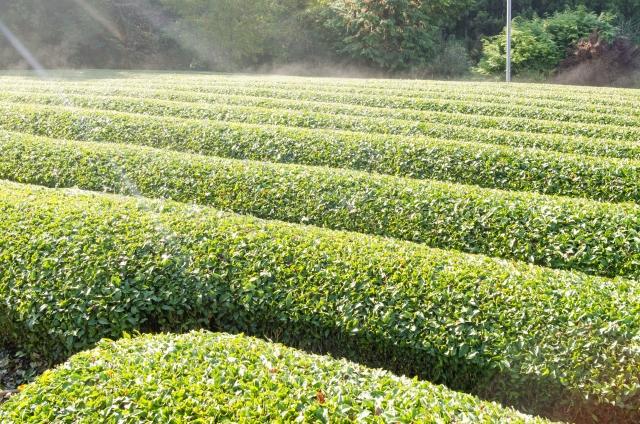 茶色い茶畑