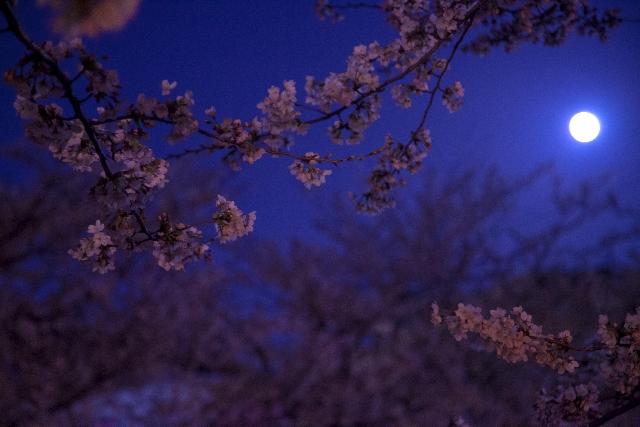 夜桜に想う