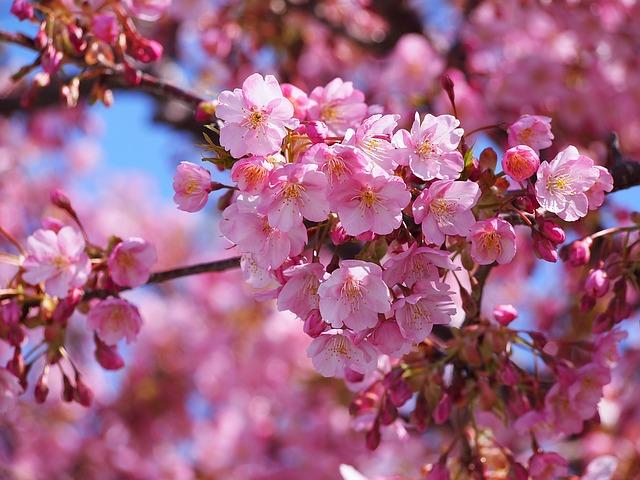 雨の伊豆で河津桜を愛でる