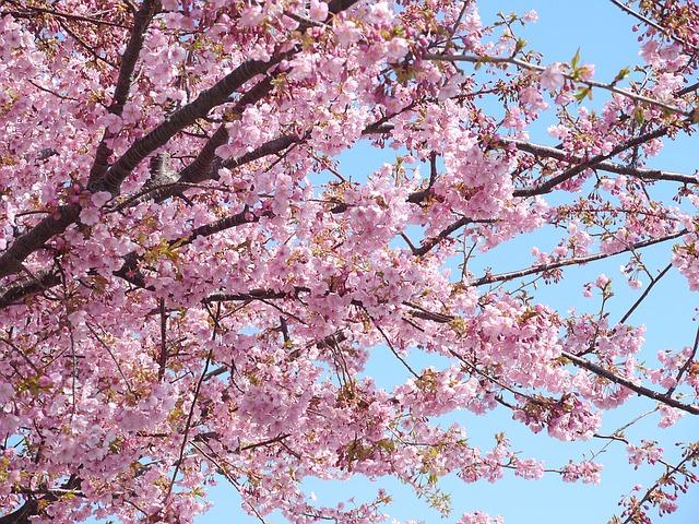 満開の桜を鑑賞・河津桜まつり