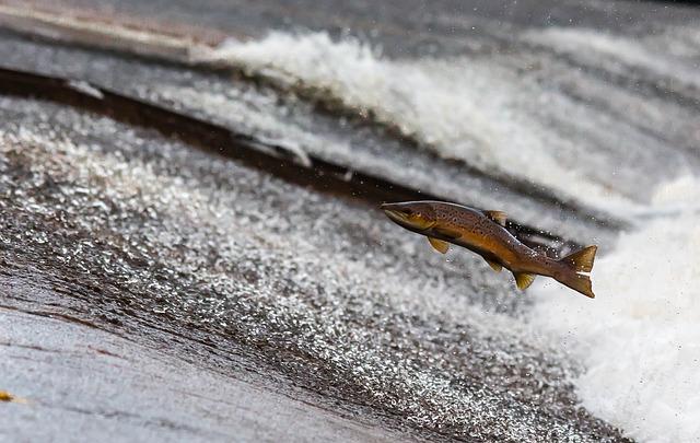 公民館で飼われている鮭の観察記録